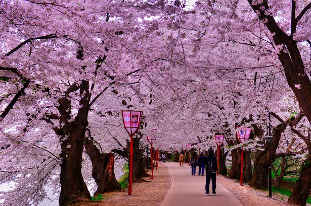 Musim Sakura di Jepun