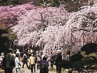 Sakura 9